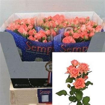 Rose Spray Barbados Wholesale Flowers 1