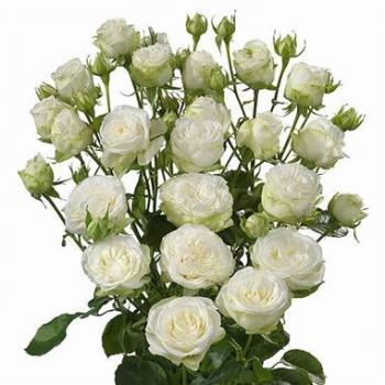 Rose Spray Miss Bombastic Wholesale Flowers 2