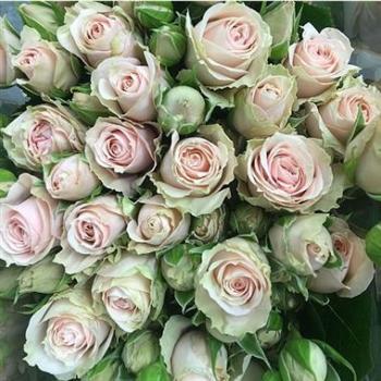Spray Rose Irischka Pale Pink Wholesale 3