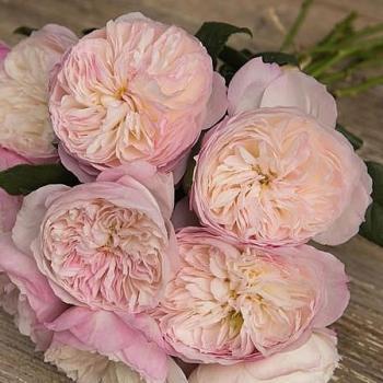 Scented Garden Rose Constance David Austin