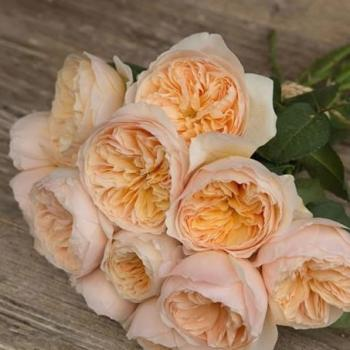 Scented Garden Rose Edith David Austin Wholesale