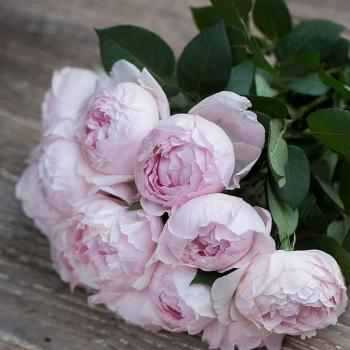 Peony Pink Scented