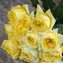 Garden Rose Toulouse Lautrec 45 cm Wholesale