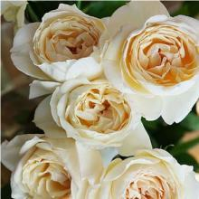 Garden Rose Yves Piaget Cream Wholesale